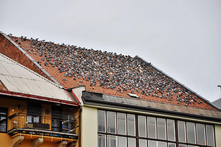 A2B Pest Control are able to install spikes to deter birds from roofs in Alsager.